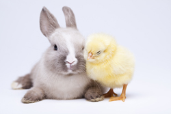 Cute gray and white bunny with a baby chick